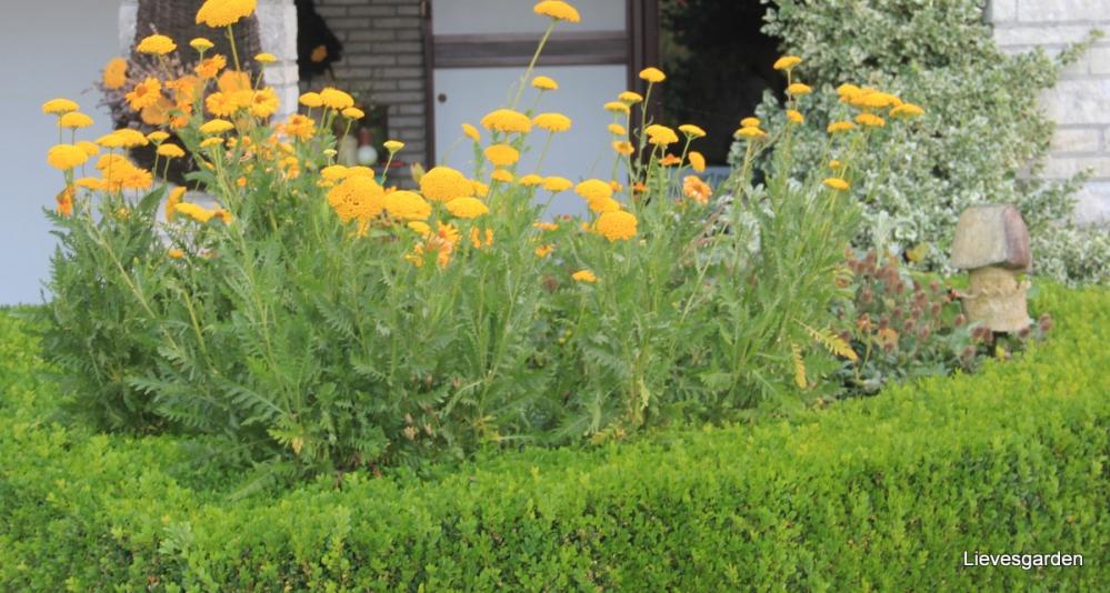achillea filipendula,vlinderplant,snijbloem,droogbloem