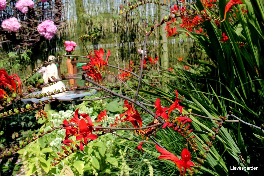 snijbloem,bolgewas,zomerbloeier,crocosmia  lucifer