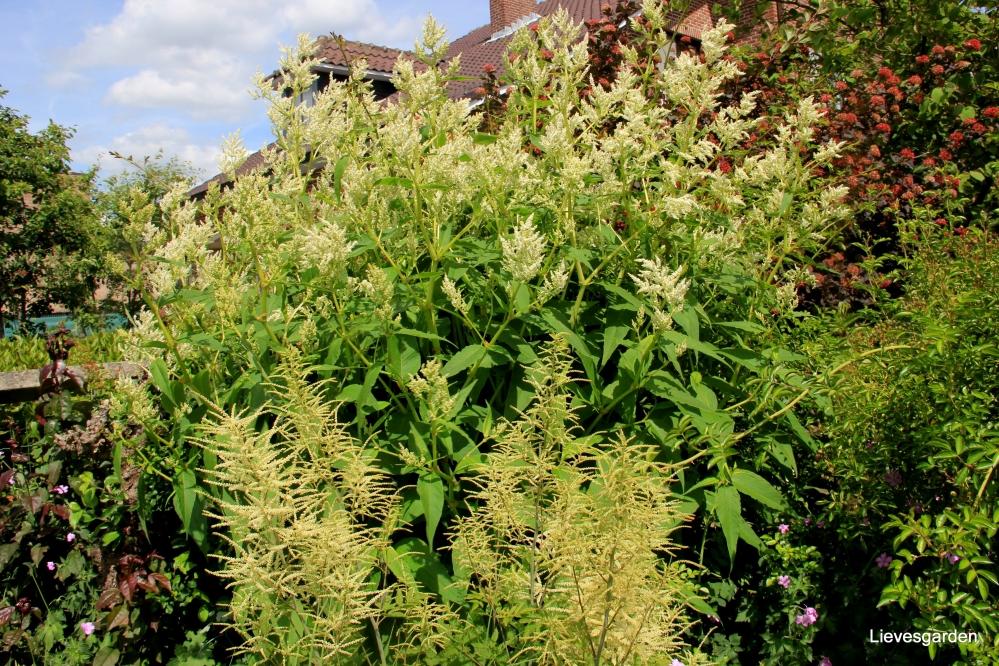 persicaria polymorpha,vaste plant,wit,zomerbloeier