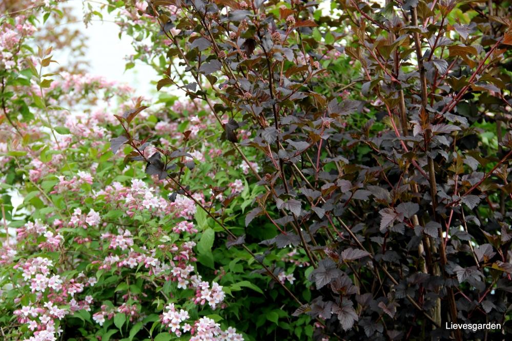 kolkwitzia amabilis,physocarpus opulifolius  diabolo