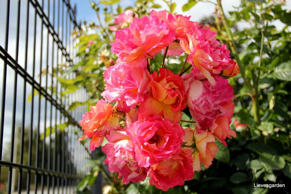 rosa louis de funes,centranthus rubens