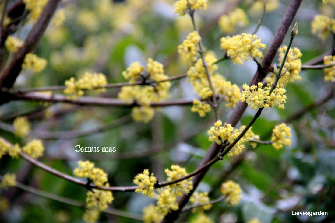 Close-up cornus mas