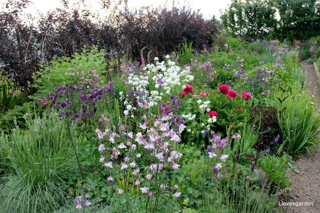 De gassenborder waar in mei akelei, hesperis matronalis en pioenen bloeien