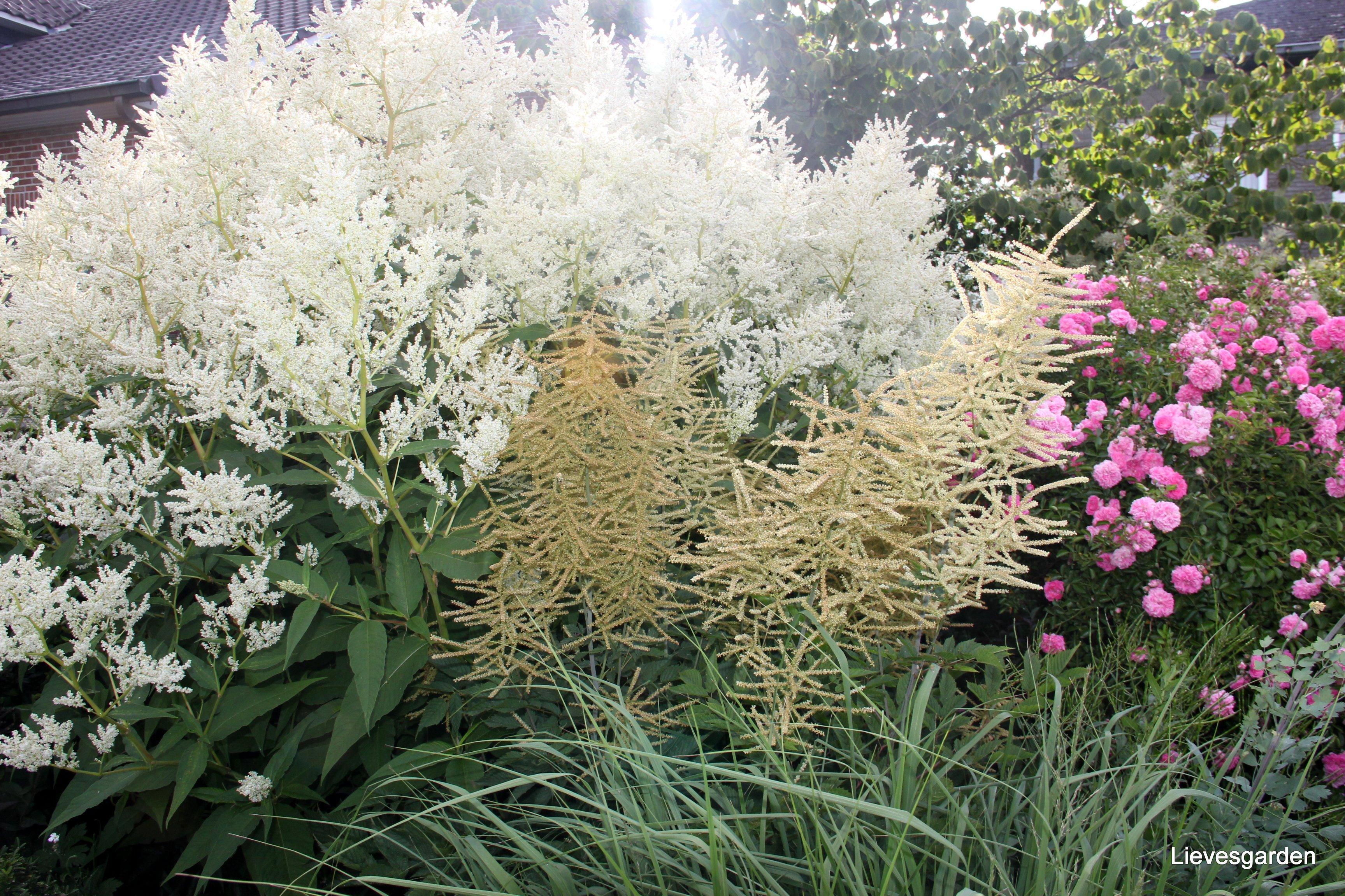 Aruncus en persicaria polymorpha mooie combinatie qua structure