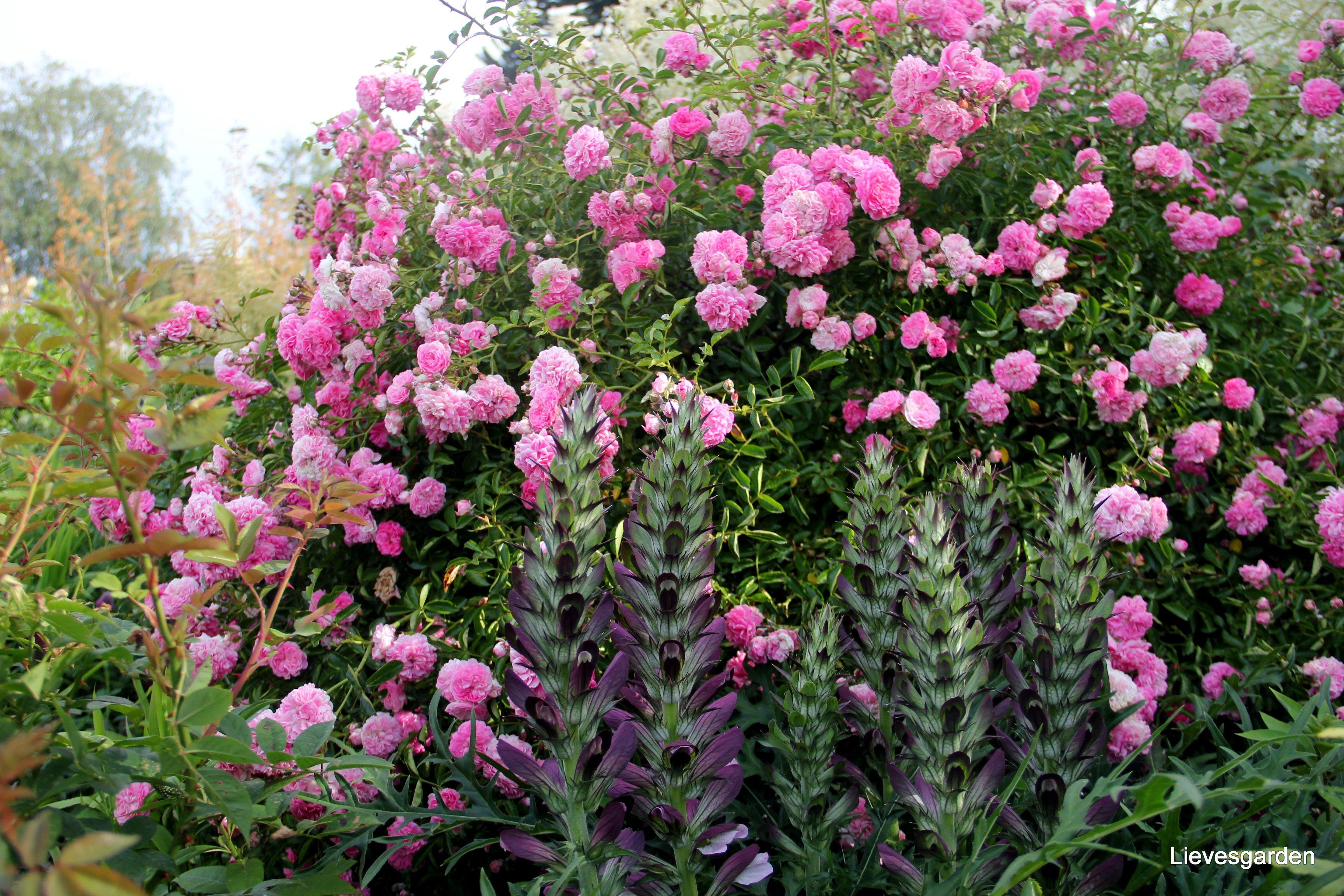Prachtig plaatje : struikroos met acanthus spinosus