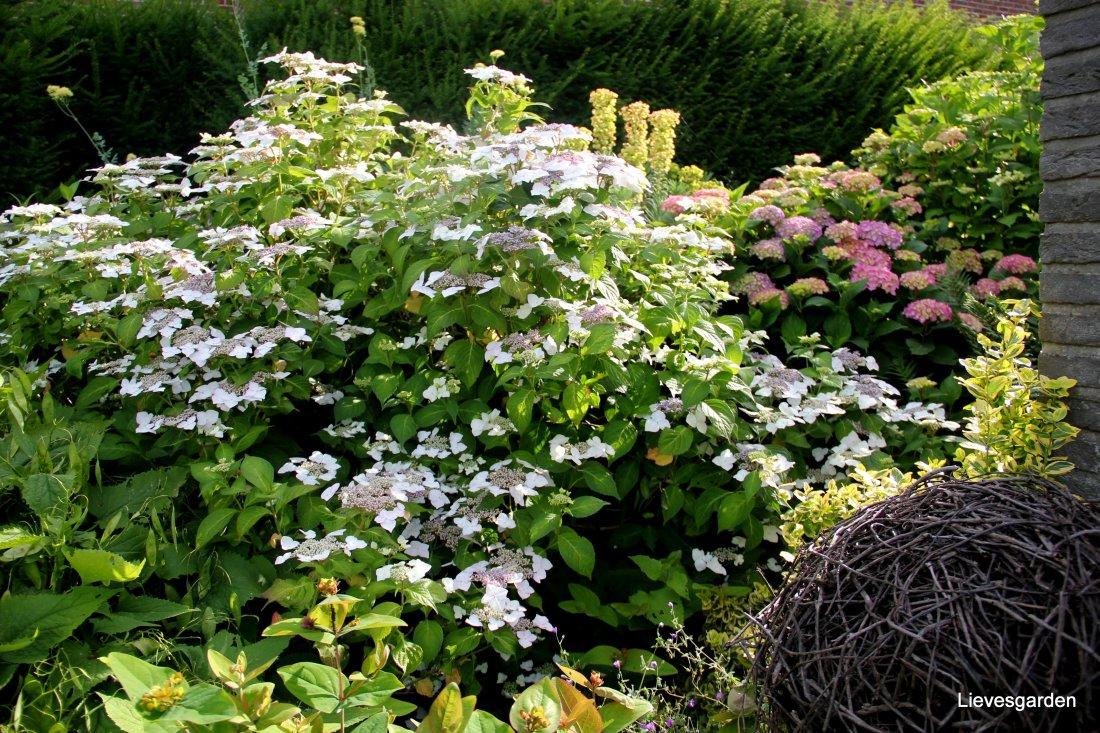 "Hydrangea macrophilla ""Brympton mauve"""