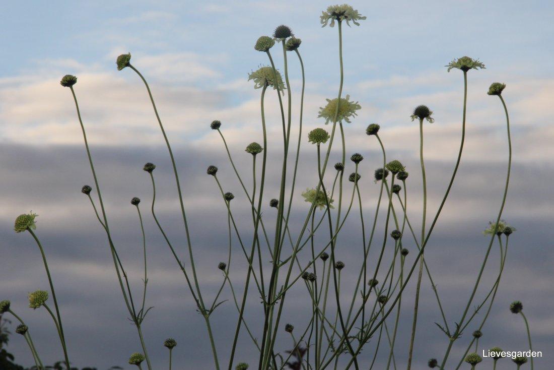 Cephalaria gigantea, schoepkruid