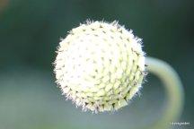 Nog te ontluiken cephalaria gigantea, schoepkruid