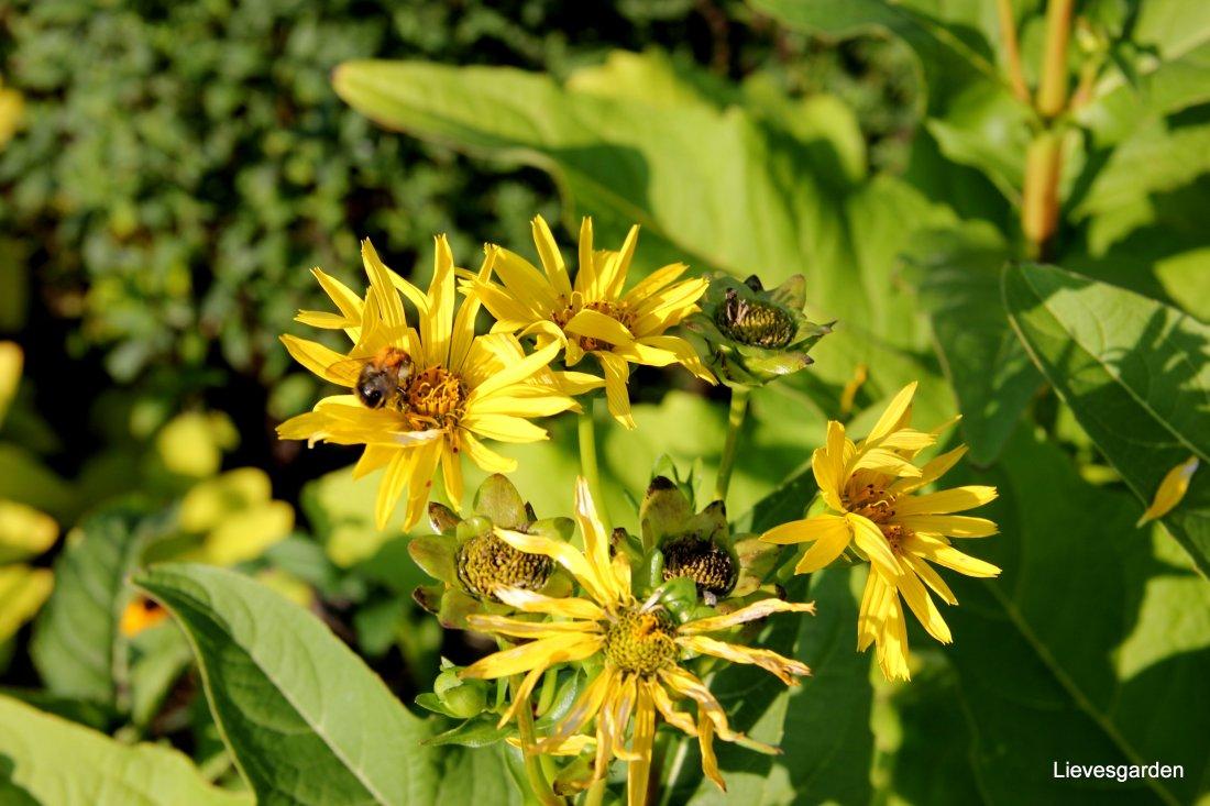 Silphium , zonnekruid lokt enorm veel hommels en bijen