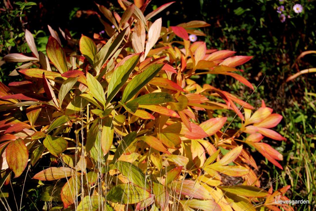 Verkleuring bladeren pioen