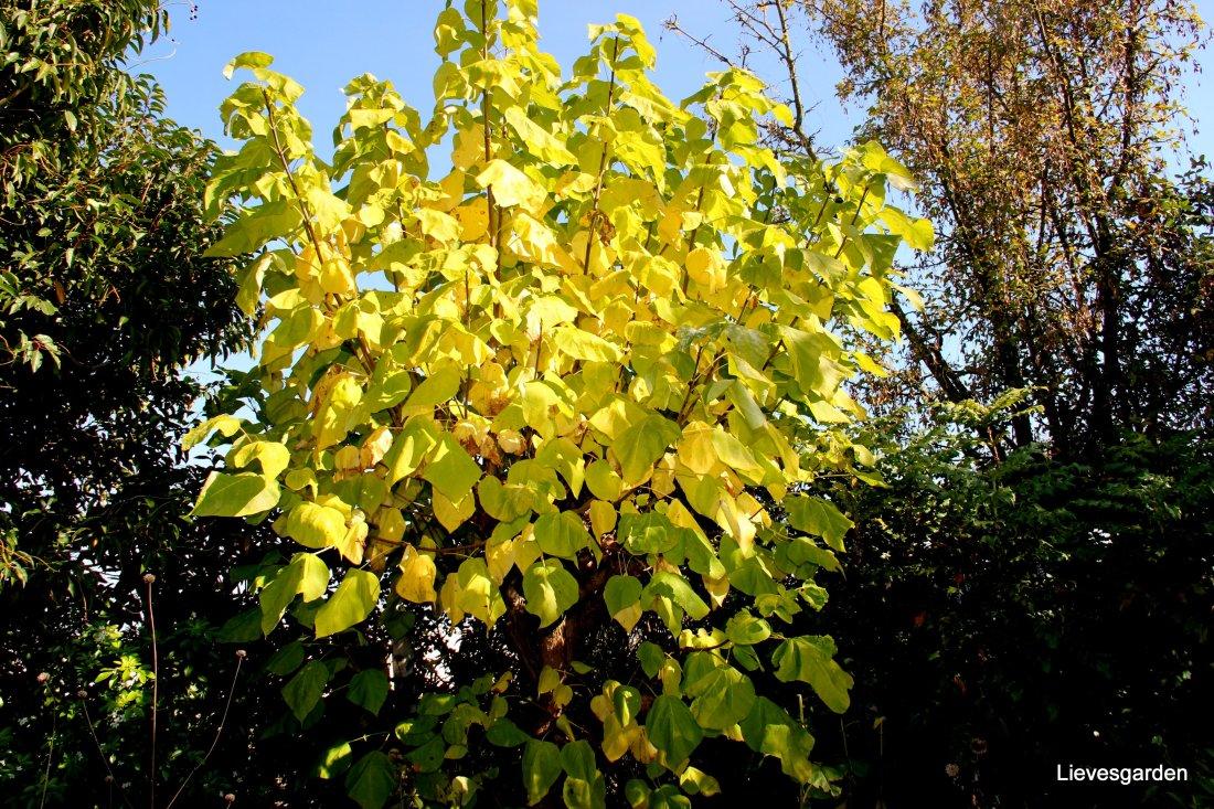 """Catalpa bignonioides """"aurea"""" in herfstkleur"""