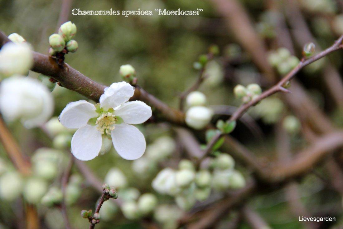 "Close-up chaenomeles speciosa ""Moerloosei"""