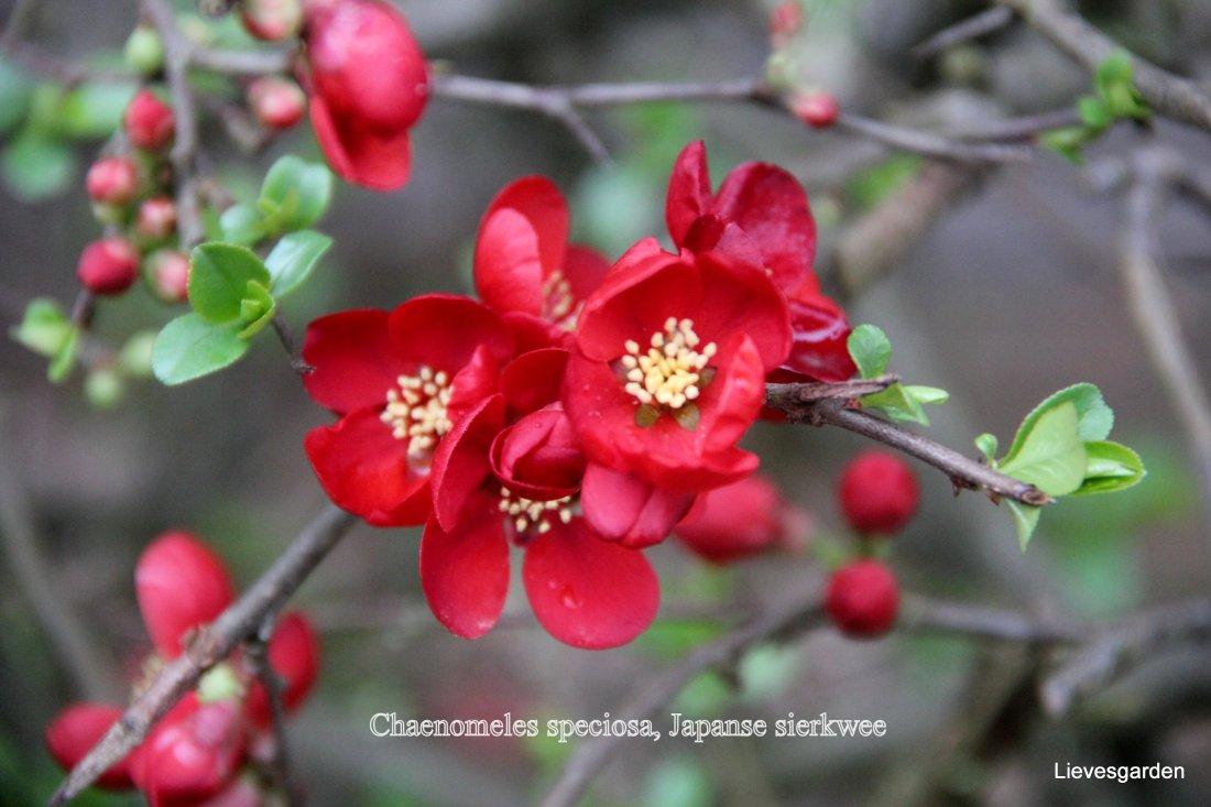 Chaenomeles speciosa : Japanse sierkwee , dwergkwee