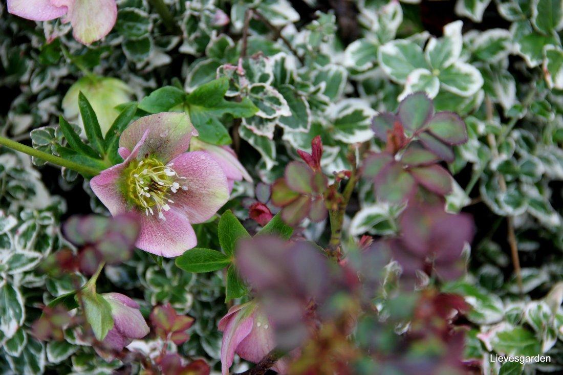 Mooie wintercompositie : rood:roze  uitlopend blad van roos met helleborus