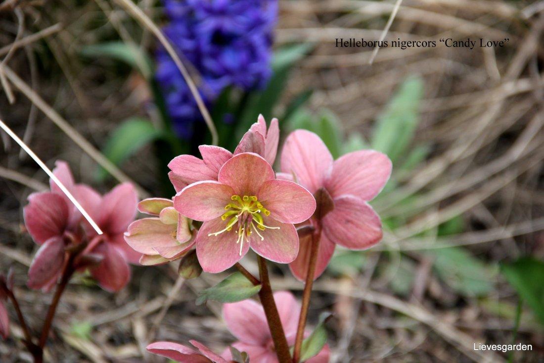 "Helleborus nigercors ""Candy Love"""