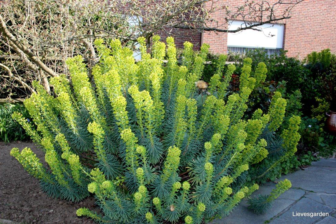 """Euphorbia charachias """"Wulfenii"""""""