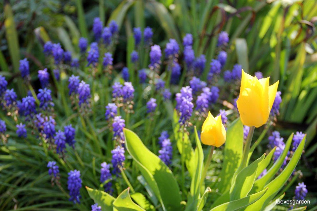 """Muscari (blauwe druifjes) met tulipa """"Françoise"""""""