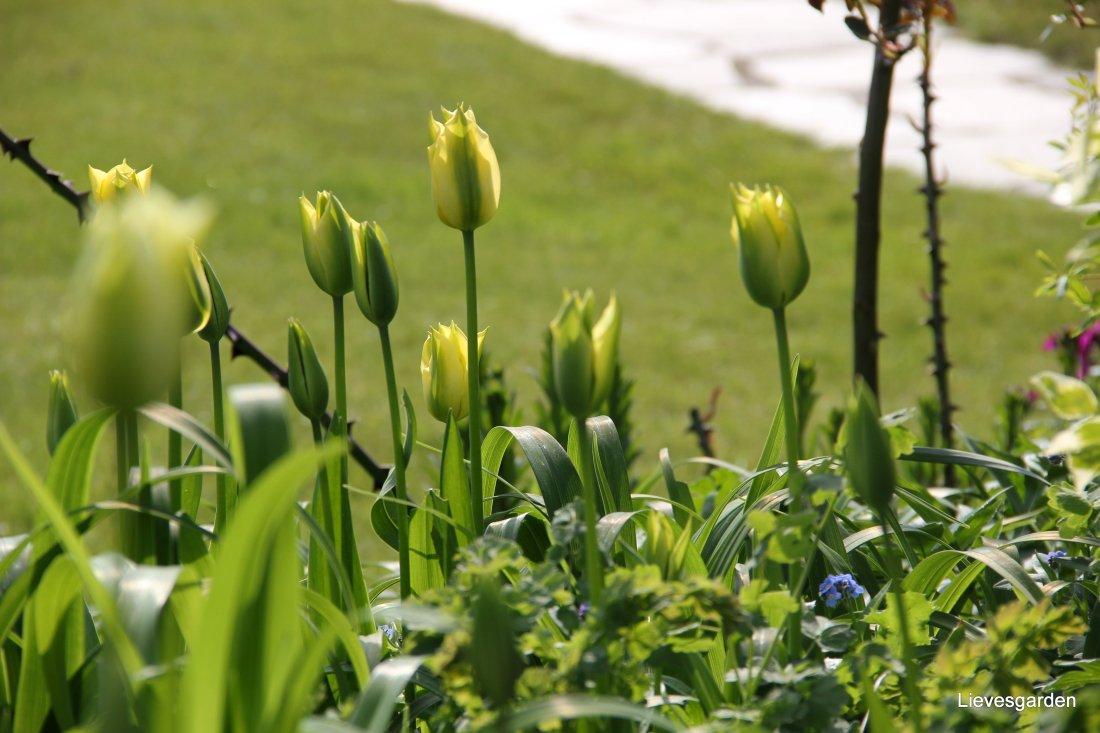 "Tulipa ""Yellow Spring"""
