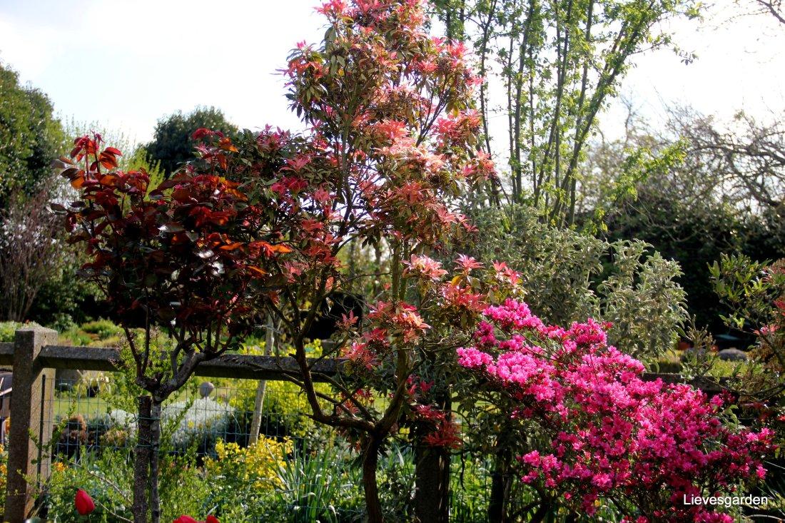 Pieris japonica, azalee en mooie uitlopende blad van een roos