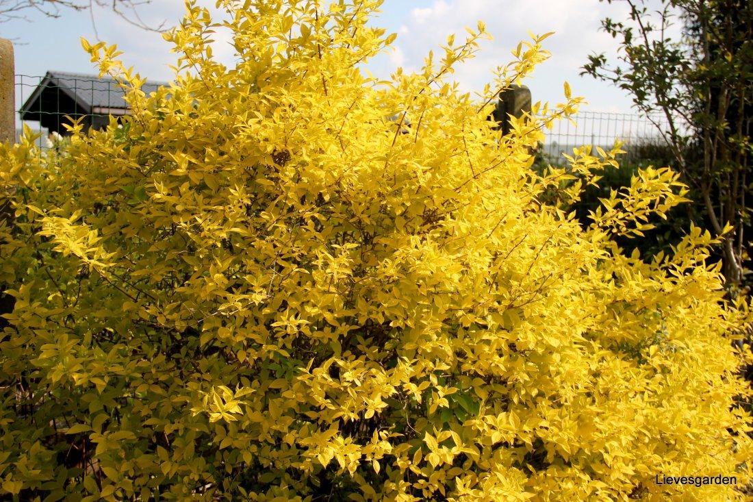 """Philadelphus coronarius """"aureus"""", gele boerenjasmijn"""