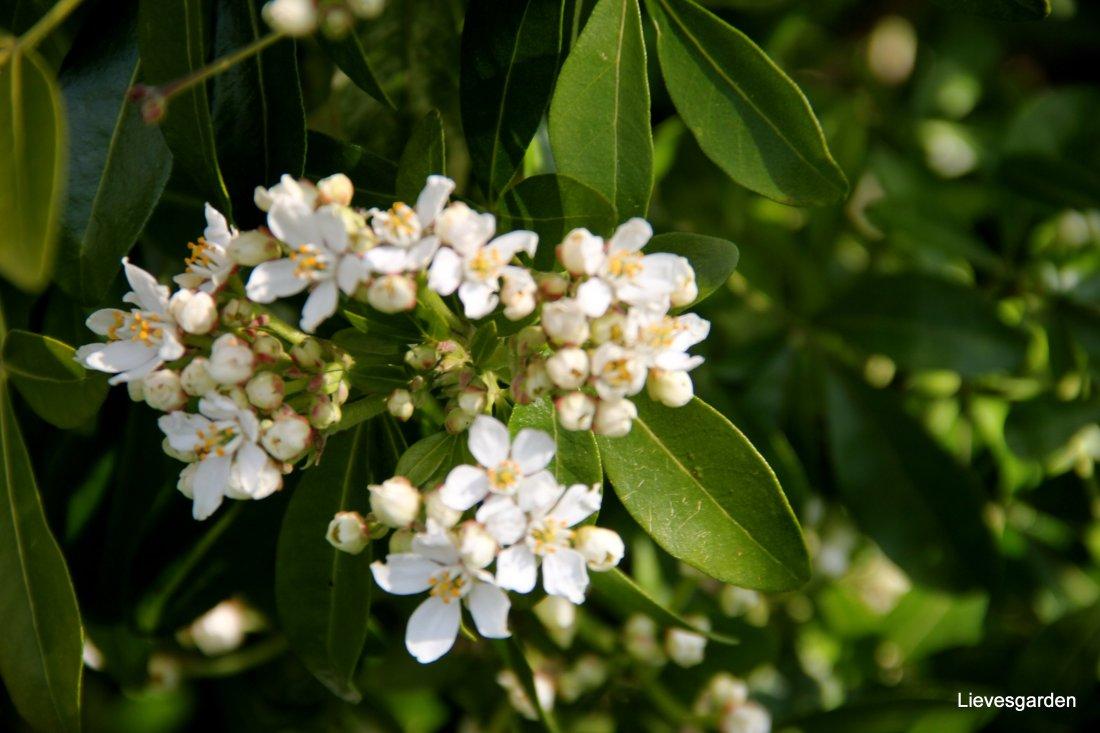 Close-up choisya ternata