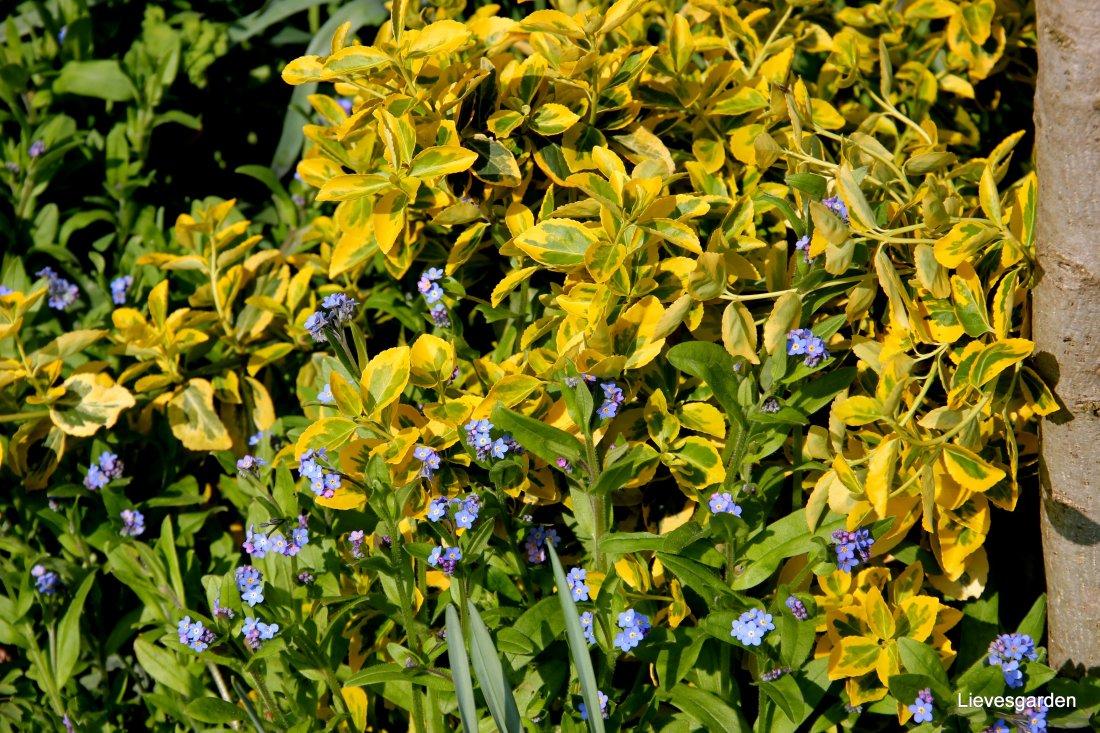"""Vergeet-me-nietjes met euonymus """"Emerald and Gold"""": mooie lente combinatie"""