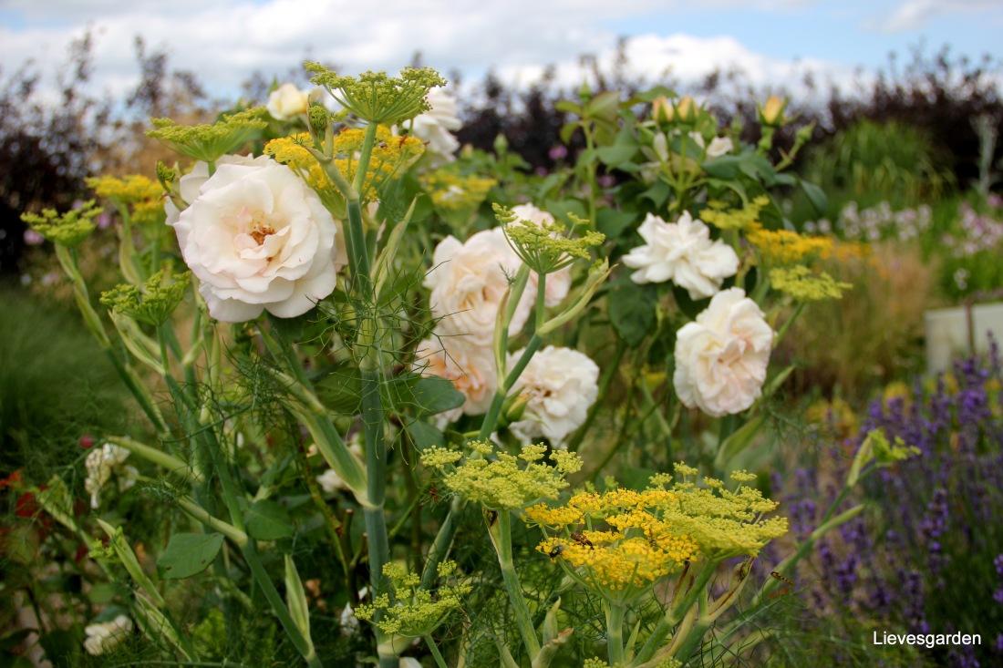 Onbekende roos met venkel