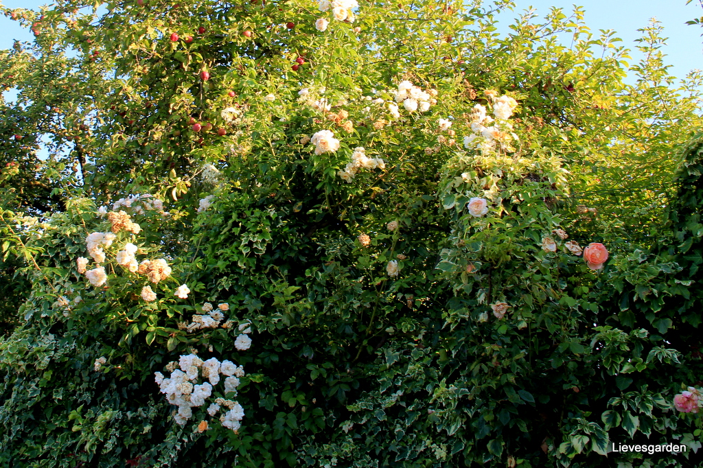 """2 de bloei rosa """"Ghislaine de Féligonde"""""""