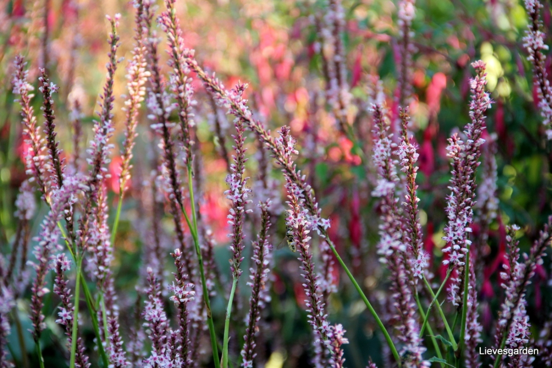 "Close-up persicaria amplexicaulis ""rosea"""