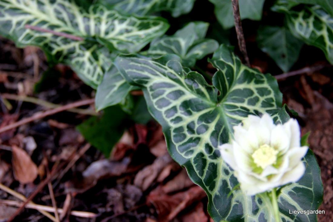 Uitgezaaide dubbele helleborus orientalis